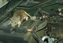 Pengusir Tikus di Mesin Mobil